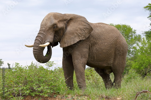 Fototapeta Male Elephant, Kruger National Park