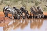Branco di zebre bevono