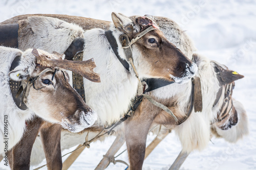 Fototapeta Mighty reindeer in harness on winter camp in Siberia.