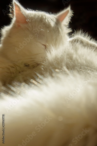 9a7eeae682 White cat. White cat breed Turkish Angora lies in the sun. The wool ...