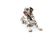 Dalmatian on white background