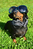 dog, animal, pet, puppy, rottweiler, canine, cute, black, dachshund, grass, doberman, brown, breed, mammal, nature, pets, friend, young, purebred, portrait, adorable, domestic, animals, pedigree, pins