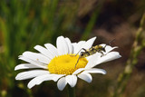 Yellow insect on the chamomile flower