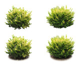 Shrub decorative. - 219179922