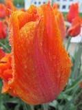 Orange and Pink Raindrop Tulip