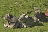 pasące się krowy na alpejskich łąkach - 219186145