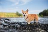 The dog at the waterfall On the river Welsh Corgi Pembroke