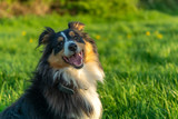 Happy Shetland Sheepdog