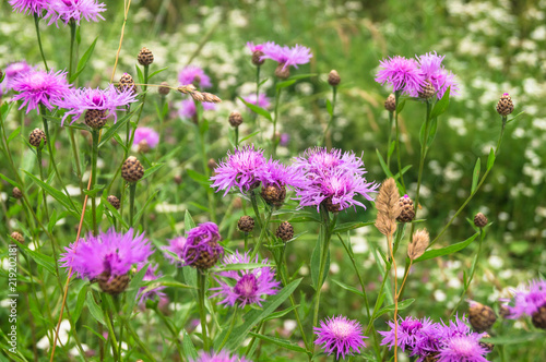 canvas print picture Purple shaggy flowers of Centaurea jacea or brown knapweed on a meadow. Cheerful rich colors of nature and bright sunlight inspire for the best and fill the soul with delight and joy.