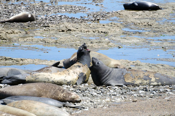 Southern elephant seal screaming and fighting among others who's sleeping