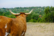 Texas longhorn cow overlooking scenic landscape on rural cattle farm.