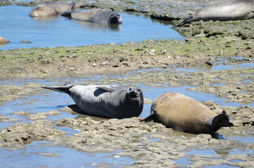 Southern elephant seals sunbating at the rocky beach