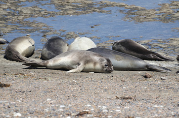 Southern elephant seals sunbathing at the rocky beach