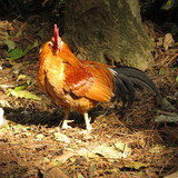 Breed of small roosters - 219229506
