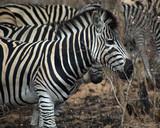 Zebra in Kruger South Africa