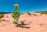 Yellow flower on sand dunes in desert, Coral Pink Sand Dunes State Park, Kanab, Utah.