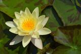 Yellow water lily Chromatella - 219245500