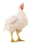White big hen.
