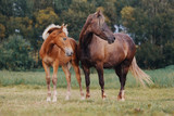 Mare and her foal on the summer field - 219269716