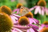 Blütenmeer aus Echinacea mit einem Schmetterling auf Nahrungssuche