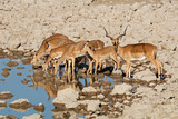 Impala antelopes (Aepyceros melampus) at a waterhole, Etosha National Park, Namibia. - 219315339