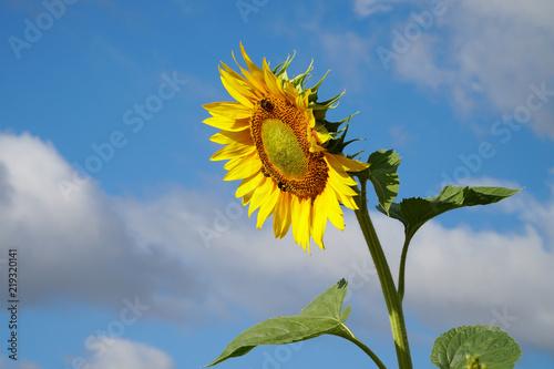 Sonnenblume mit blauem Himmer
