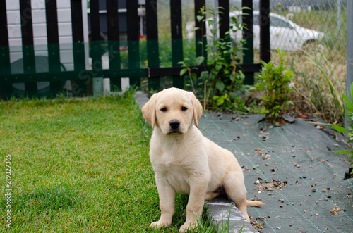 Cachorro Labrador Buy Photos Ap Images Detailview