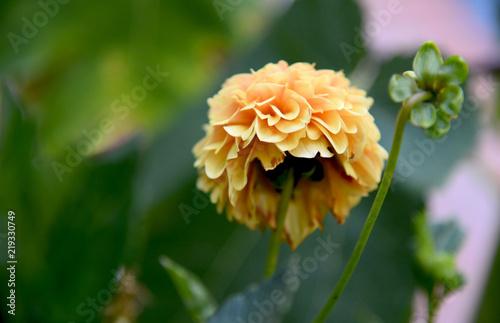 intimacy of a decadent dahlia