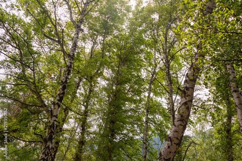 Summer birch forests