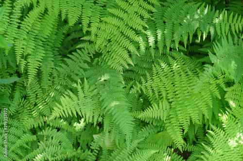 healthy green ferns in the shade