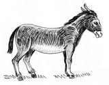Standing donkey. Ink black and white illustration