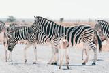 Zebras in Etosha National Park
