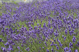 Lavender flowers blooming in the garden, beautiful lavender field.