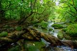 西表島のジャングル - 219375587