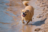 The dog walks on the water on the beach