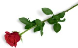 Red Rose with Green Stem - 219386586