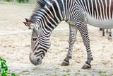 One zebra is grazing in the savannah, safari in the zoo