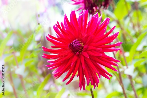 Sharp and long petals of the magnificent red Dahlia flower in the summer greenery
