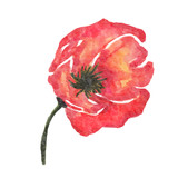 watercolor poppy flower isolated on white background