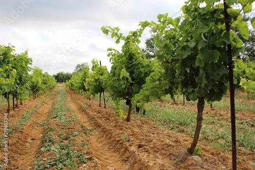 vignoble et chien cane corso © canecorso