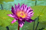 Purple Waterlily nymphaea Cosmos - 219428312