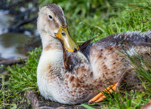 a gray brown young fluffy duckling with yellow wet nose is resting