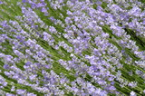 Beautiful flowering lavender in the garden, floral background lilac and green