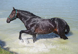 The dark bay horse of roadster breed takes SPA baths in the lake - 219457733