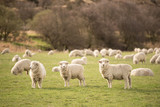three sheep - 219486720