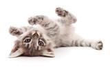 Small gray kitten. - 219535119