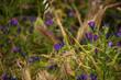 canvas print picture - Fiori di campo viola