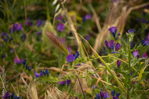 canvas print picture Fiori di campo viola