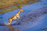 Common Impala in Kruger National park, South Africa ; Specie Aepyceros melampus family of Bovidae - 219538785