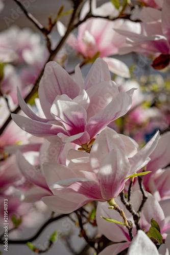 Fototapeta Magnolia in sunlight